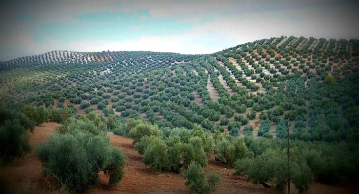 Campo olivos, Jaén