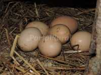 Huevos de nuestro gallinero
